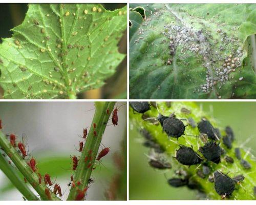 Como lidar com pulgões no jardim e no jardim de remédios populares