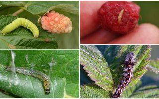 Como se livrar de lagartas em framboesas