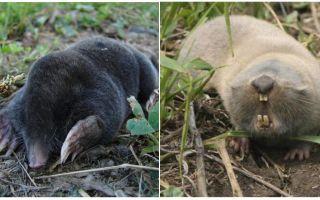 Qual é a diferença entre um toupeira e um rato toupeira?
