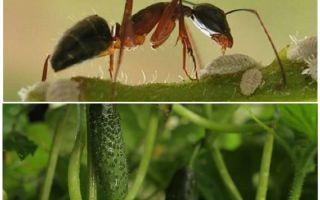 Como lidar com formigas no jardim com pepinos