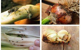 Como se livrar de cebola midges