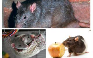 Fatos interessantes rato