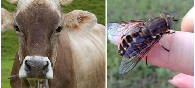 Como tratar uma vaca de moscas e prostitutas em casa