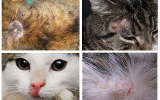 Por que um gato coça se não houver pulgas