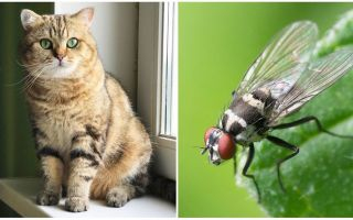 O que fazer se um gato ou gato comeu uma mosca