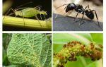 Tipo de relacionamento de formigas e pulgões