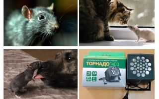 O que ratos e camundongos temem?