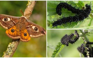 Descrição e foto da lagarta do olho de pavão