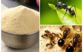 Manka das formigas no jardim