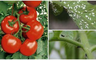 Como processar tomates de moscas brancas e pretas