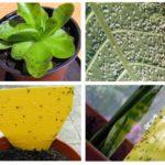 Blackflies em plantas de interior