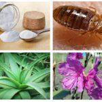 Remédios populares para percevejos