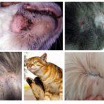 Sintomas de pulgas em gatos