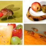 Moscas de fruta