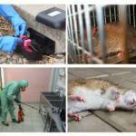 Extermínio de ratos e camundongos