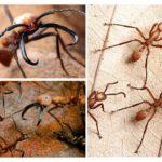 Formigas assassinas nômades