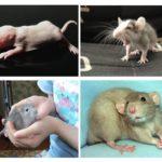 Filhotes de rato