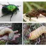 Larva do besouro de maio e Medvedka