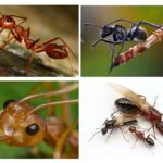 Corpo de formiga