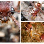 Formigas, buldogues