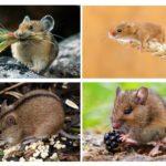Alimentação de roedores