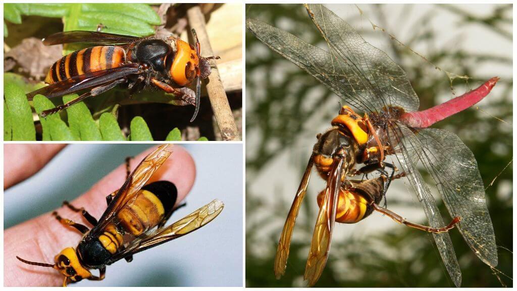 Assassino de hornet gigante asiático
