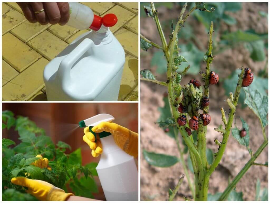 Produtos químicos contra o besouro de batata de Colorado