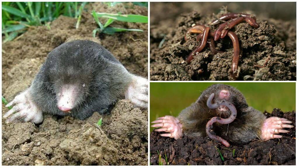 Métodos populares de combater a toupeira com a ajuda de vermes
