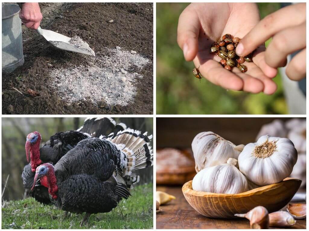 Maneiras folclóricas de lidar com besouros do Colorado
