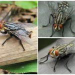 Gadfly Pele Humana