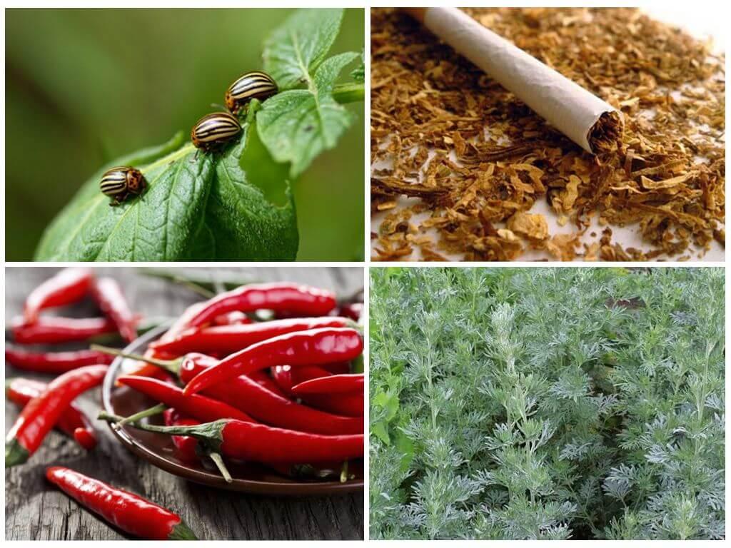 Remédios populares para o besouro de batata de Colorado