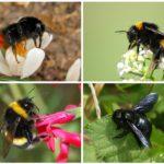 Espécie de abelha