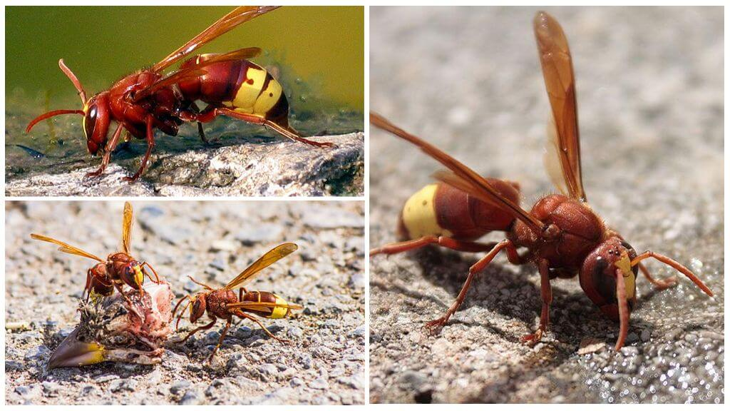 Hornet Oriental