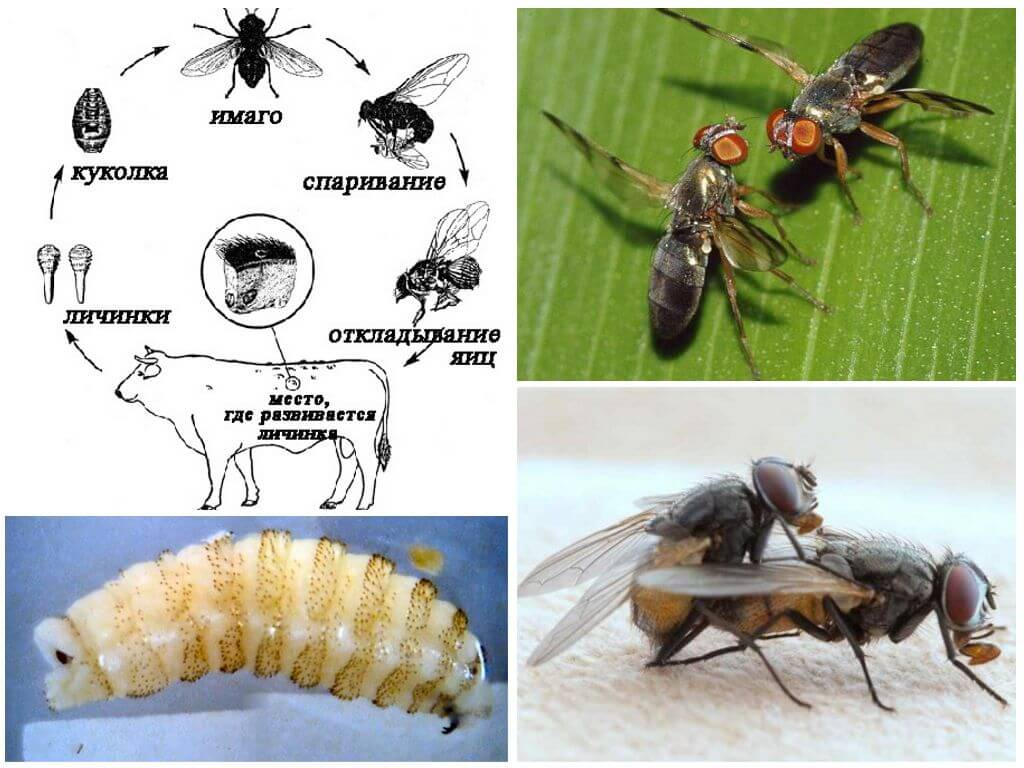 Gadfly ciclo de vida