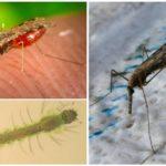 Mosquitos da malária