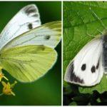 Repolho da borboleta