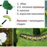 Ciclo de Desenvolvimento de Tigelas de Borboletas