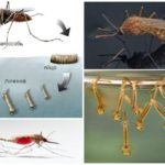 Criação de mosquitos