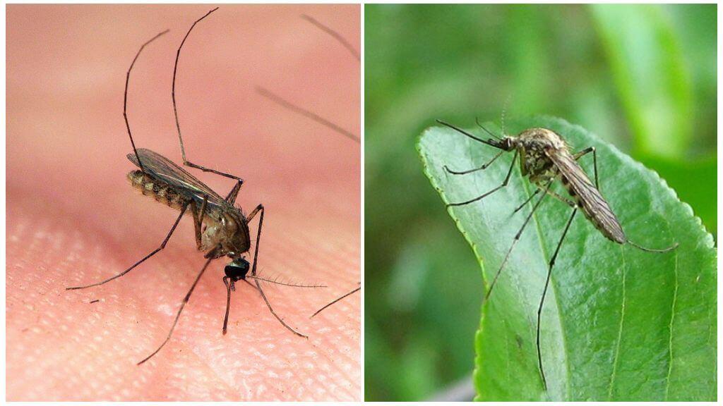Mosquitos do tipo de kuleks