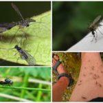 Blackflies e mosquitos