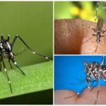 Representantes da espécie Aedes (kusaki)