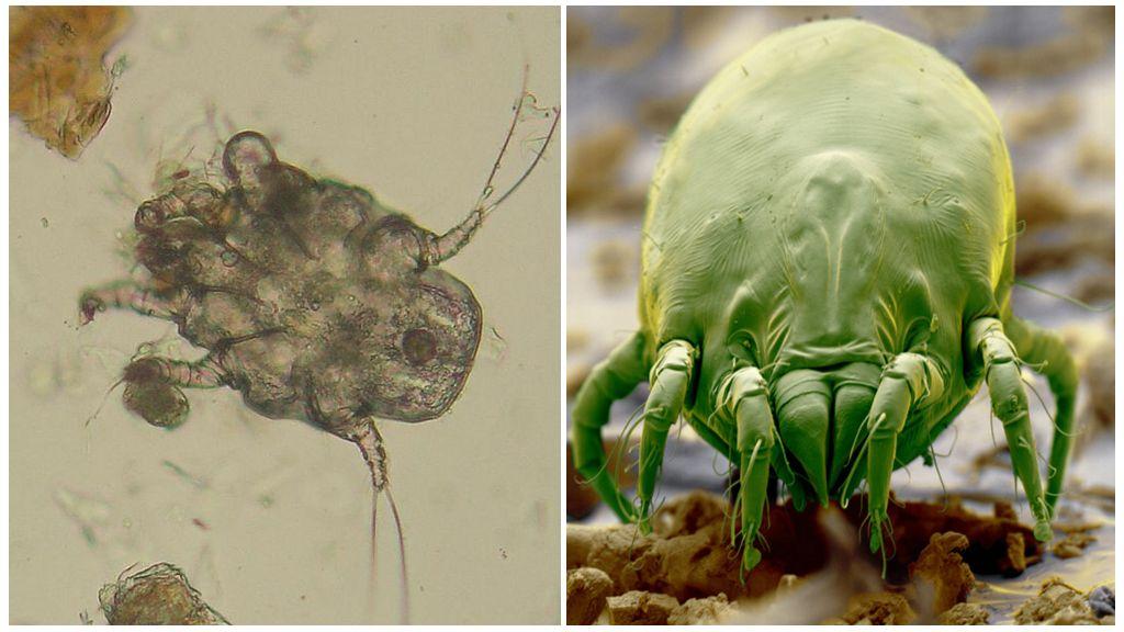 Ácaro sarcoptiforme e ácaro saprófito