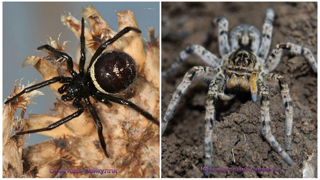Aranhas da Crimeia